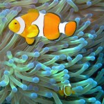 Common_clownfish_curves_dnsmpl-150x150