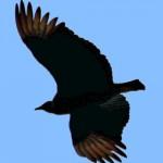 VultureBlackSoaring03